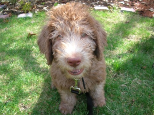 Extremely cute labradoodle-mix dog