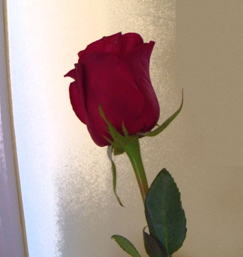 They handed each of us volunteers one of these. I accept this rose.
