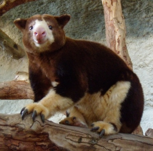 Even this smiley-faced tree kangaroo is brimming over with good vibes.
