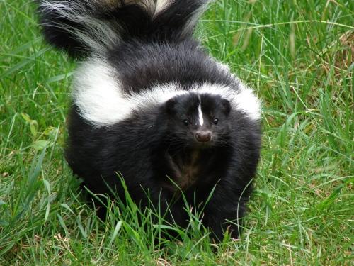 skunk-1392814